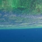サンゴの卵&ハナオコゼが大発生