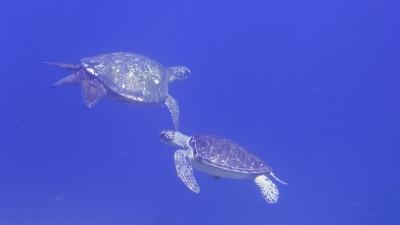 アオウミガメのペアー