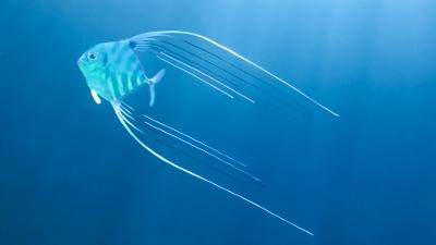 イトヒキアジ幼魚
