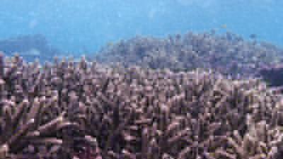 スギノキエダサンゴ