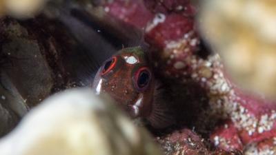 ミノカエルウオ幼魚