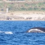 新春!「ザトウクジラ」&「ニューギニアベラ」