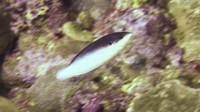 ニューギニアベラ