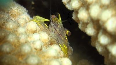 Harpiliopsis spinigera