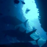 大当たり!ロウニンアジの群れ&サメ