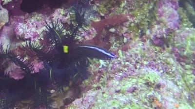 ブダイベラの幼魚