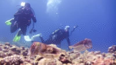 コブシメのペアー