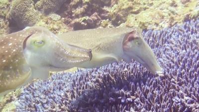 コブシメの産卵