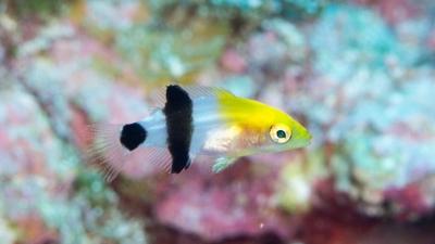ヒレグロベラの幼魚