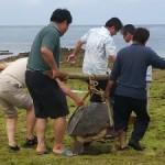 アカウミガメの救助