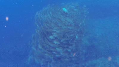 ギンガメの大群4