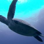 アオウミガメの「ミサキ」
