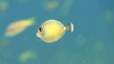 ヒメテングハギ幼魚