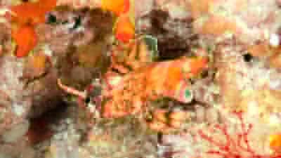 ヒレボシミノカサゴ