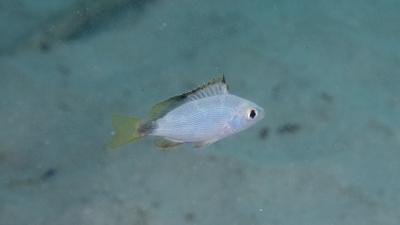 ヒメフダイ幼魚