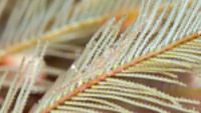カゲロウカクレエビ