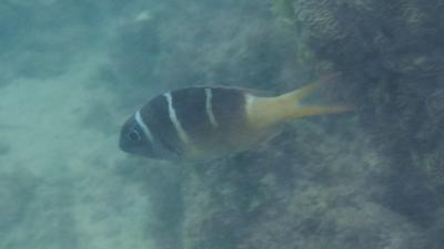 ヨコシマクロダイSP幼魚