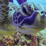 アオウミガメの「ミサキ」と泳ぐ