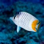 ケラマハナダイ幼魚