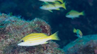 ヨスジフエダイ幼魚