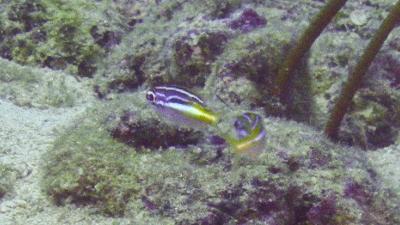 2カメンタマガシラ幼魚