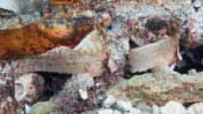 白いツマジロオコゼ