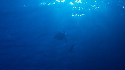 ウミガメ2匹