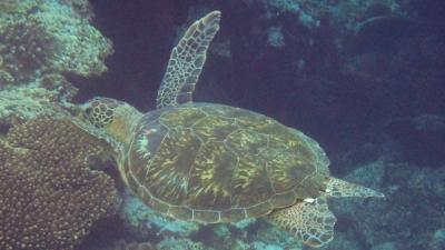 タグのアオウミガメ