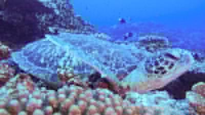 アオウミガメの銀
