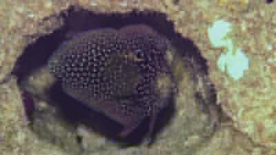 シモフリタナバタウオ