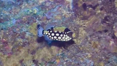 モンガラカワハギ幼魚