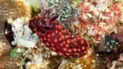 ベニゴマリュウグウウミウシ