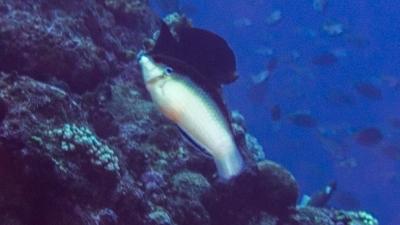 ニューギニヤベラ