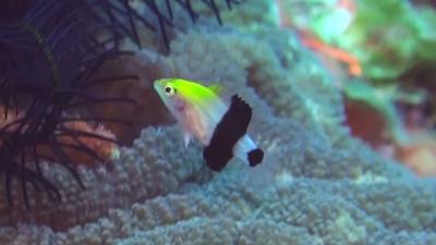 ヒレグロベラ幼魚