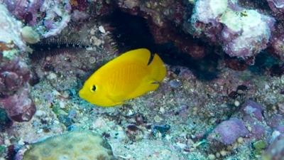 ヘラルドコガネヤッコ幼魚