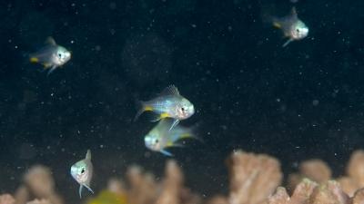 クラカオスズメダイ幼魚