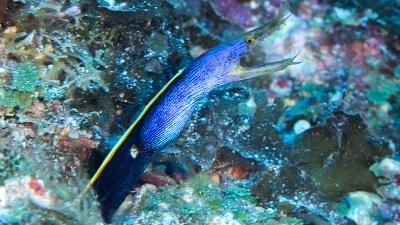 黒から青に変わる途中の若齢個体ハナヒゲウツボ