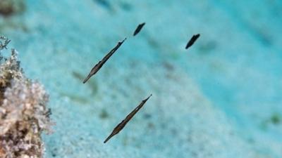 ヘコアユ幼魚