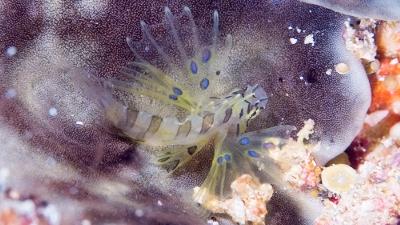 ハナミノカサゴ幼魚