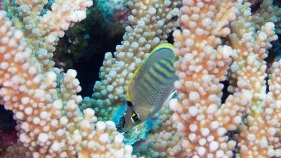 シチセンチョウチョウウオ幼魚