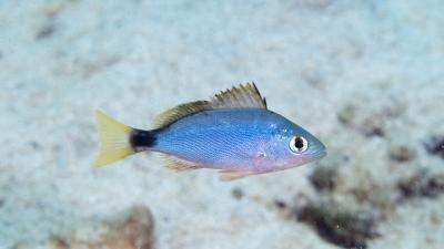 ヒメフエダイ幼魚