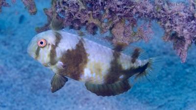 ホシテンス幼魚