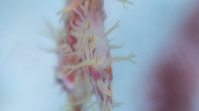 ニシキフウライウオの抱卵