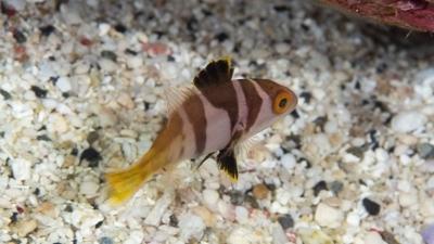 コクハンアラ幼魚