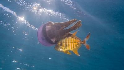 ムラサキクラゲと共生