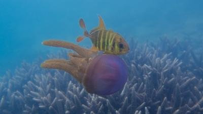 テンジクアジとムラサキクラゲの共生