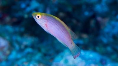 ベニヒレイトヒキベラ幼魚