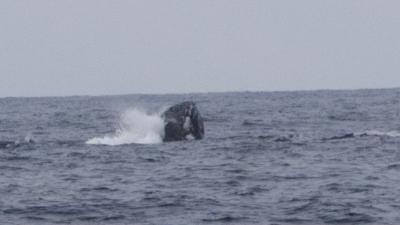 ザトウクジラのメイティング2