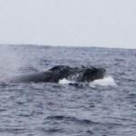 ザトウクジラのメイティング