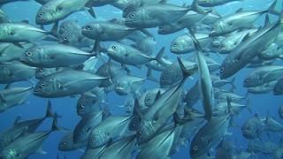 ギンガメアジの小隊・巨大ロウニンアジ + クジラの声